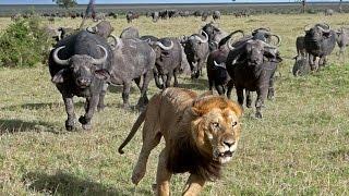 Гангстеры дикой природы — Буйволы (Документальные фильмы, передачи HD)