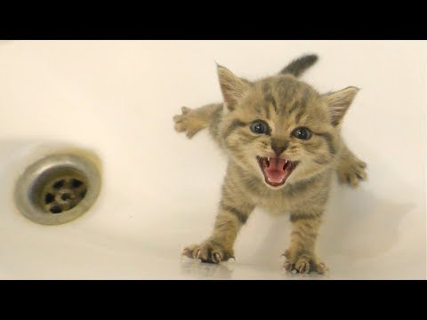 Kitten does not want to bath and meows loudly