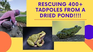 Saving 400+ Tadpoles From a Dried Pond | Animal Rescue | Touching | in Malaysia