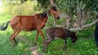Hungry Horse Trying To Mating With Small Donkey