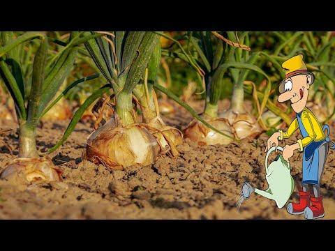 Когда сажать лук севок весной в открытый грунт и как правильно это сделать