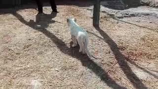 Nace León Blanco en zoológico del Altiplano, en Tlaxcala, México