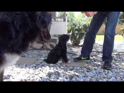 Aussie Doodle Puppy Training