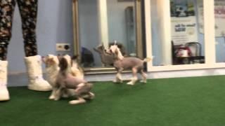 китайская хохлатая собака , щенки