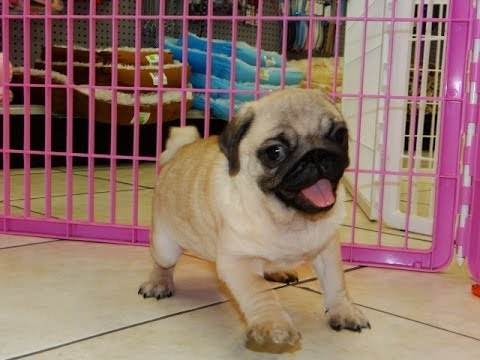 Pug, Puppies, Dogs, For Sale, In Jacksonville, Florida, FL, 19Breeders,  Orlando, Cape Coral