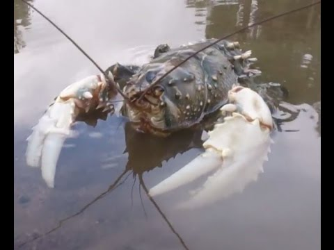Biggest Murray Crayfish I Have Ever Seen Massive Claws Freshwater