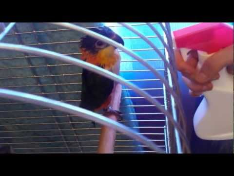 pappagallo bagnetto kiki caicco testa nera (pionites melanocephala)