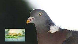 Pigeon farm business