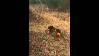 FC Cadillac Jack pups tracking a rabbit