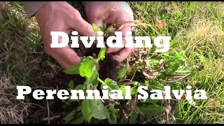 How To Divide Perennial Salvia. Make New Plants For Free.