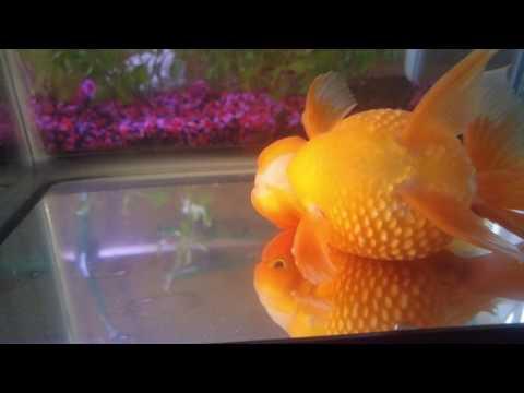 Sick Oranda Goldfish, Week 2