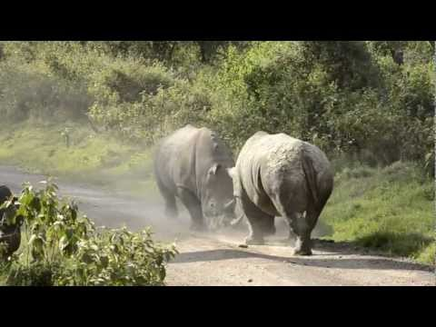 Rhinos fight - Kenya 11.11.2012