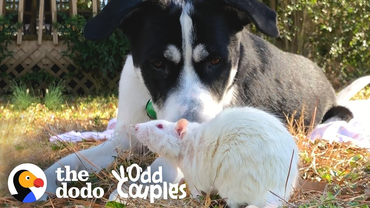 Animal Odd Couples Youtube dog and rat won't leave each other alone | the dodo odd couples