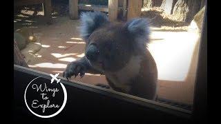 Koala bear encounter in Australia - Great Ocean Road