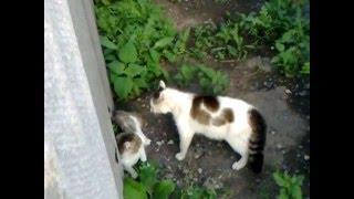 драка деревенских котов/fight cats