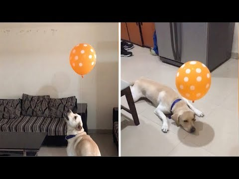 dog-tries-to-catch-balloon-attached-to-collar