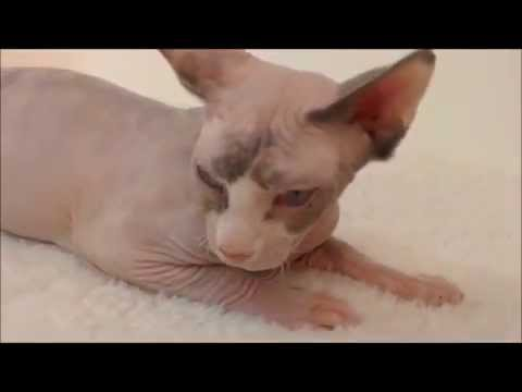 Sphynx Lady in heat 斯芬克斯王國貓舍-台灣 Sphynx Kingdom Cattery-Taiwa