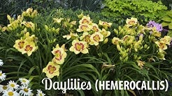Daylily Production Tips | Walters Gardens