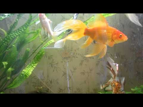 Аквариумные рыбки Описание видов аквариумных рыб