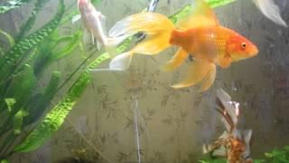 Aquarium.goldfish.Золотые рыбки кормление.