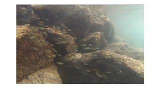 Snorkelling  Alcudia, Mallorca July 2015 - Sea Bream and Mullet