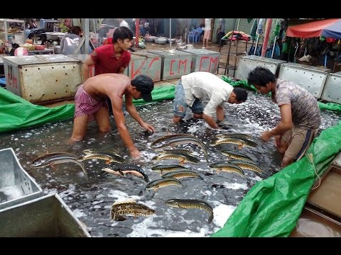 Catch Snakehead Fish by Hand in Cambodia