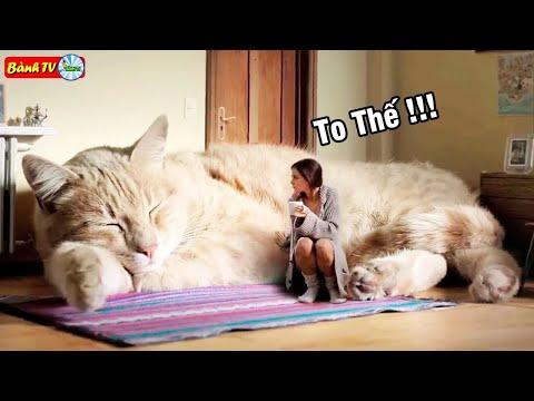 💥 TOP 10 Loài Mèo Khủng Nhất Thế Giới Thật Không Thể Tin Nổi | Bành TV