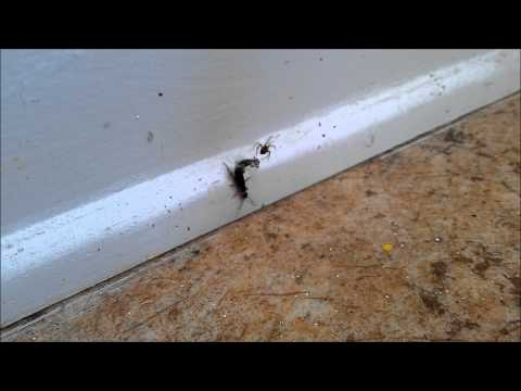 Earwig Vs Spider, Double Speed, 1080p