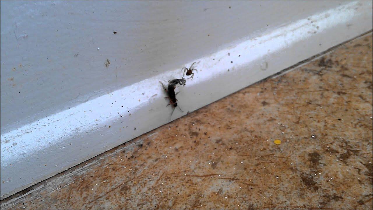 Earwig Bug Killer