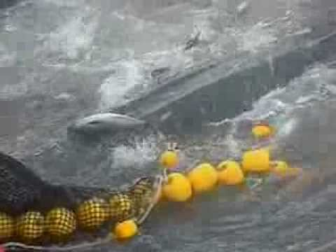Whale Shark Caught In Fishing Net