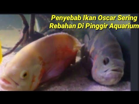 Penyebab Ikan Oscar Sering Diam Dipinggir Aquarium Youtube