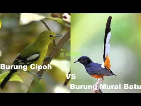 Kolaborasi Suara Burung Cipoh Burung Murai Batu