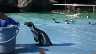 あっ~痛そうぅ ・・・ ペンギン達は2010年12月迄屋内飼育の別の水族館...