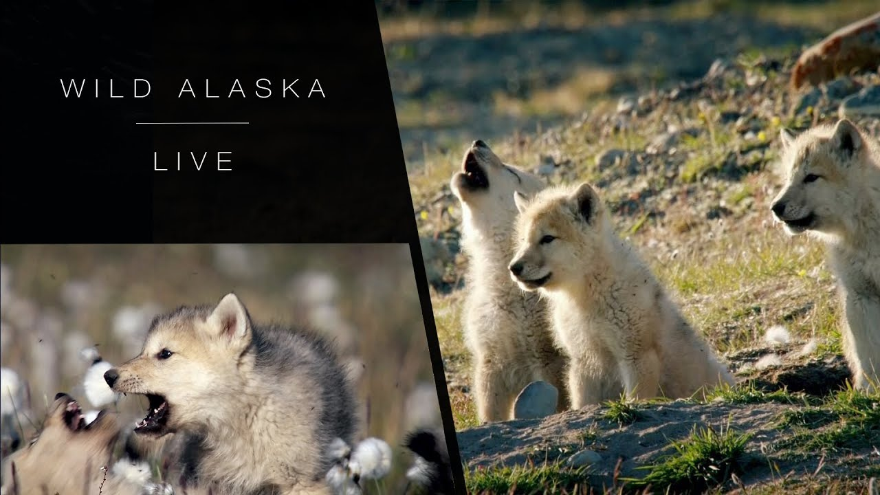 Wolves of the wilderness: Wild Alaska Live - BBC One