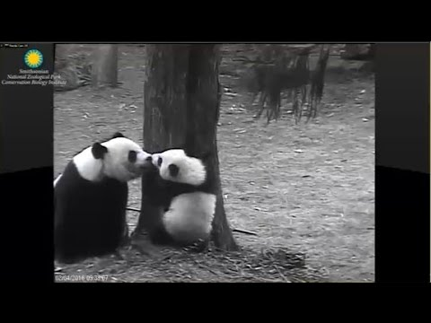 2-4-2016 Smithsonian's National Zoo Panda Cub Bei Bei's Outdoor Debut
