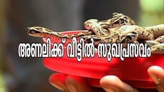 Viper gives birth to 55 babies - Analikku Veettil Sukha Prasavam 20/05/15