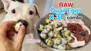 nomyen the Pit Bull eats Raw Quail Eggs x 30 combo [ASMR] BARF | MUKBANG 動物の咀嚼音 | 犬が生の肉を食べる | 4K