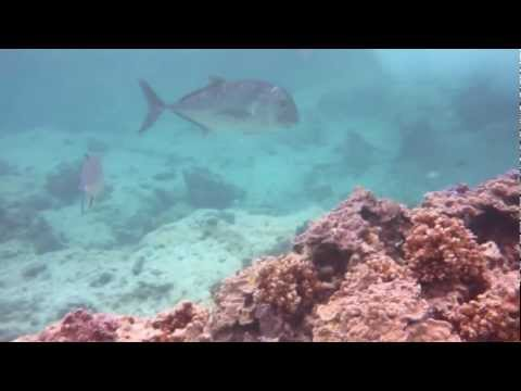 Ulua and Bluefin Trevally while Snorkeling at Midway Atoll - Reef Hotel