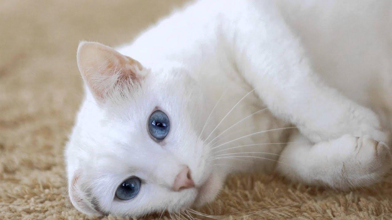 Black white cat breed