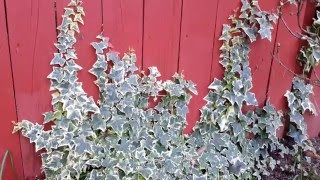 Variegated English Ivy / Hedera helix variety