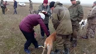 Экстерьер борзых собак ( Грейхаунд ), в Туркменском районе   СК 2017г.