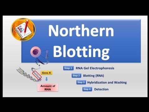 Basic Concepts 12 -  Northern Blotting