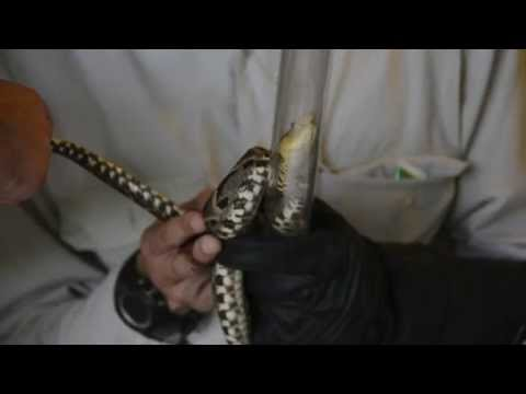 Project Chicchan Using Snake Professional Handling Equipment