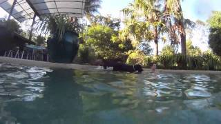 Indy The Doberman And Ava The Giant Schnauzer Swimming