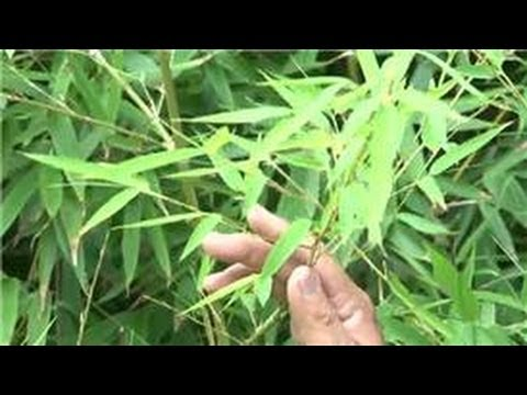 Bamboo Growing 101 : How to Grow a Bamboo Fence