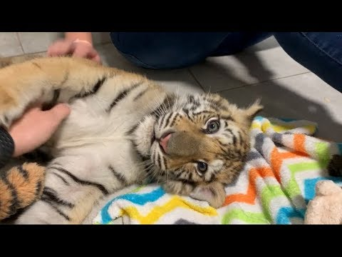 Playing with Baby Bengal Tiger | Zoological Wildlife Foundation Miami