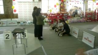 Бивер йорк.Выставка собак. Ринг биверов.