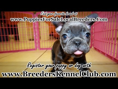 BLUE BRINDLE FRENCH BULLDOG PUPPIES FOR SALE IN GEORGIA LOCAL BREEDERS