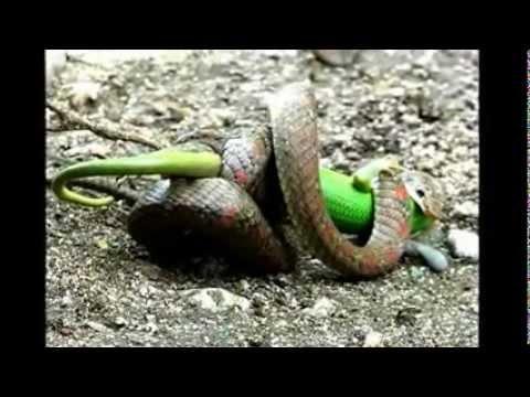 Snake vs. Lizard