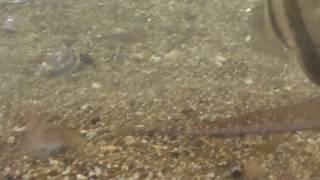 砂潜りはキス(シロギス)の重要な危機対策方法。 スローモーションでご...